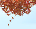 Falling autumn leaves, red maples with blue sky background