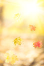 Falling autumn maple leaves against yellow sunny background Royalty Free Stock Images