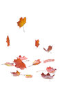 Falling leaves autumn maple on white background with shadow Royalty Free Stock Photography