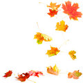 Falling Maple Leaves Royalty Free Stock Photo