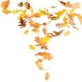 Falling Oak Leaves Royalty Free Stock Photo