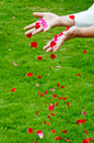 The falling petals Royalty Free Stock Image