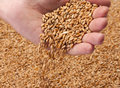 Falling wheat seeds Royalty Free Stock Photo