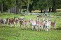 Fallow deer Royalty Free Stock Photo