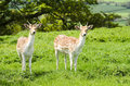 Fallow Deer Royalty Free Stock Image