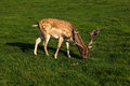 A fallow deer buck Stock Photo