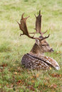 Fallow deer buck with antlers in autumn lying down Stock Image
