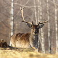Fallow deer buck with broken antler portrait of looking at the camera dama dama Stock Photos