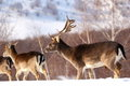 Fallow deer buck and its baby stag Stock Image