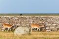 Fallow deer bucks Royalty Free Stock Photo