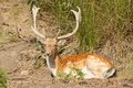 Fallow deer cervus dama diurnal deer therefore relatively easy to observe males have palmate antlers fall spring growing new ones Royalty Free Stock Photography