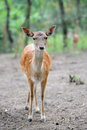 Fallow deer close up in wild nature Stock Photos