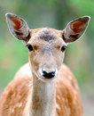 Fallow deer close up in wild nature Royalty Free Stock Photography