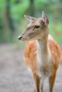 Fallow deer close up in wild nature Stock Images