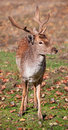 Fallow Deer Closeup Royalty Free Stock Photography