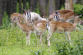 Fallow deer, dama dama Stock Images