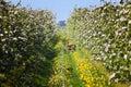 Fallow deer doe in apple tree plantation Royalty Free Stock Photo