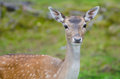Fallow deer doe in a forest in summer time Royalty Free Stock Photography