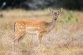 Fallow Deer Doe Royalty Free Stock Photo