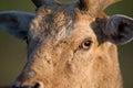 Fallow deer eyes Royalty Free Stock Photo