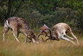 Fallow deer fallowe fighting during rutting season Royalty Free Stock Photo