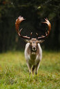 Fallow deer fallowe in the rain during rutting season Royalty Free Stock Image