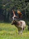 Fallow deer fallowe in the rain during rutting season Royalty Free Stock Images