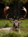 Fallow deer fallowe in the rain at rutting season Stock Image