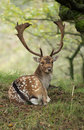 Fallow deer fallowe during rutting season Stock Images