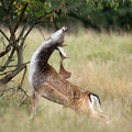 Fallow deer fallowe during rutting season Royalty Free Stock Photo
