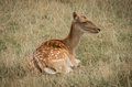 Fallow deer famale laying in the grass Stock Images
