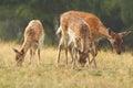 Fallow deer family Royalty Free Stock Photo