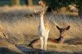 Fallow deer fawn Dama dama and mother Royalty Free Stock Photo