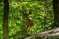 Dear and Fawn in a Forest Royalty Free Stock Photo