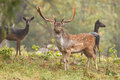 Fallow deer with females Stock Image