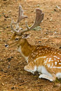 Fallow deer forest candid Royalty Free Stock Photos