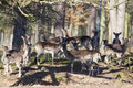 Fallow deer in the forest herd of resting shadow of early spring germany europe Stock Image