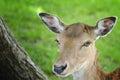 Fallow Deer head Royalty Free Stock Photo