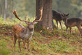 Fallow deer with hinds Royalty Free Stock Image