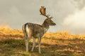 Fallow deer in long grass Royalty Free Stock Photo