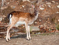 Fallow Deer Looking at the Camera Royalty Free Stock Photo