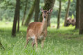 Fallow deer looking and ruminating Royalty Free Stock Photo