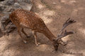 Fallow deer in the in the parc de la ciutadella barcelona on july Royalty Free Stock Photo