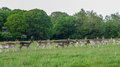 stock image of  Fallow Deer in The Phoenix Park