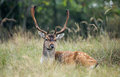 Fallow deer during the rutting season Royalty Free Stock Photo