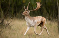 Fallow deer during the rutting season Stock Photos