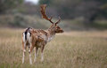 Fallow deer during the rutting season Royalty Free Stock Image