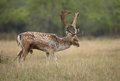 Fallow deer during the rutting season Royalty Free Stock Photos