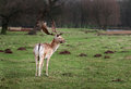 Fallow deer stag in park land. Royalty Free Stock Photo