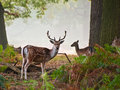 Fallow deer stag portrait in Autumn foggy morning Stock Photography